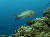 Diving Thailand Sail Rock. 11 June 2014 Underwater video