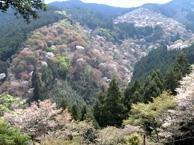 ЯПОНИЯ. The Cherry Blossoms of Yoshino (Вишневые Цветы Йосино)
